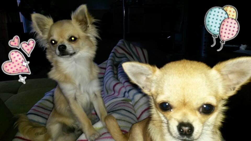 Chihuahua Vom Silberhaar Welpen Im Neuen Zuhause